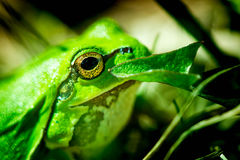 Macro shot of a European tree frog Royalty Free Stock Images