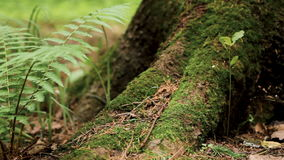 Macro shot of fern leaves and huge pine tree. Lush fern leaves and roots of big pine tree overgrown with green moss in summer forest shot from ground level stock video footage