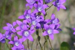 Macro shot of field flowers, purple campanula Royalty Free Stock Image