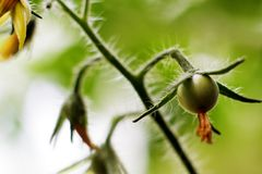 Macro shot of first day of fruiting tomato and flowers royalty free stock photos