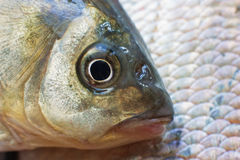 Macro shot of  fish head. Closeup background Royalty Free Stock Images