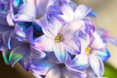 Macro shot of a flower. Blooming hyacinth close-up. Royalty Free Stock Images