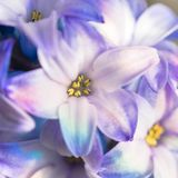 Macro shot of a flower. Blooming hyacinth close-up. Royalty Free Stock Image