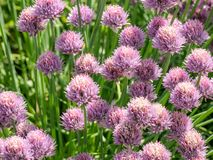Macro shot of flower in full bloom phase Grass Plant chives All. Grass Plant chives Allium schoenoprasum . Shallow depth of field Royalty Free Stock Photography