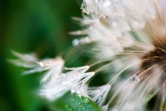 Macro shot of fluffy and fragile dandelion flower with rain drops in early morning. royalty free stock image