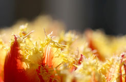 The macro shot of fluffy yellow-red tulip petals Royalty Free Stock Photo