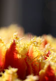 The macro shot of fluffy yellow-red tulip petals Stock Image