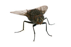 A macro shot of fly. On a white background stock photography