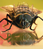Macro shot of fly Stock Photography