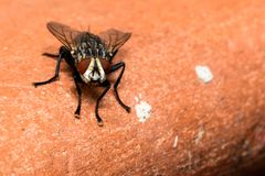 Fly on backround. Macro shot of a fly on a brown backround royalty free stock photography