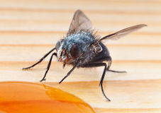 Macro shot of fly eating honey Stock Images