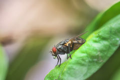 A macro shot of fly on green leaves . Live house fly .Insect clo Stock Image