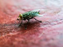 A macro shot of fly onon red table.  Stock Photography