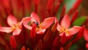 A fly on a red leaf. A macro shot of a fly on a red leaf stock footage