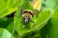 A macro shot of a fly Royalty Free Stock Image