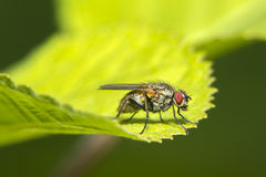 A macro shot of a fly Stock Image
