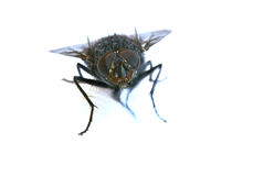 A macro shot of fly on a white background Stock Photo