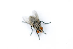 A macro shot of fly on a white background Royalty Free Stock Images