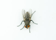 A macro shot of fly on a white background Stock Image
