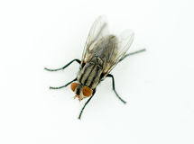 A macro shot of fly on a white background Royalty Free Stock Photos