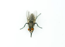 A macro shot of fly on a white background Stock Photography