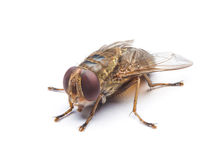 A macro shot of fly. On a white background Royalty Free Stock Photos