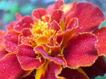 Macro shot from Fog drops on a flower. Macro shot from Fog drops on a red with yellow flower in The Netherlands Royalty Free Stock Photos