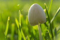 Macro shot. Forest mushrooms in the green grass. Gathering mushrooms Royalty Free Stock Photos
