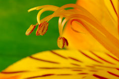 Macro Shot of a Freesia with Pollen Royalty Free Stock Photos
