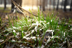 Macro shot of fresh grass covered by show at sunny day in forest Royalty Free Stock Photos