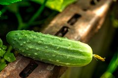 Macro shot of a freshly picked ripe cucumber. In a greenhouse a sunny summer day Stock Image
