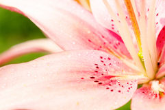 Macro Shot of a Freshly Watered Lily Royalty Free Stock Photo