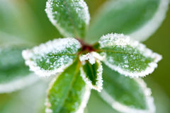 Macro shot of frost covered leaves Royalty Free Stock Image