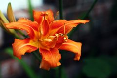 Day Lily Stock Images
