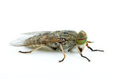 Macro shot of gadfly Royalty Free Stock Image
