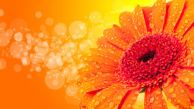 Gerber blossom Stock Images
