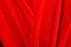 Macro shot of gerbera daisy Royalty Free Stock Photography
