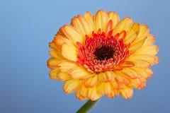 Macro shot of a gerbera daisy Stock Photos