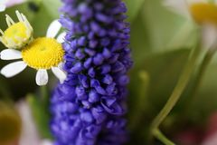 Macro shot of a grape hyacinth combinated with a chamomile royalty free stock photo