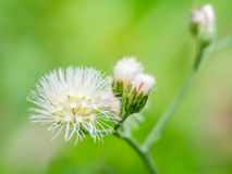 Macro shot of the grass flower Royalty Free Stock Images