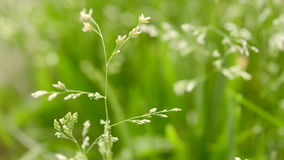 Macro shot of grass with seeds stock video