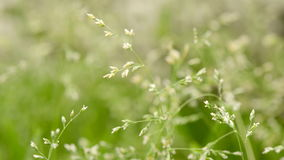 Macro shot of grass with seeds stock video footage