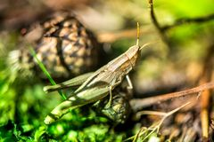 Macro shot of grasshopper, caught while picking mushrooms and cranberries in forest in early autumn. Royalty Free Stock Image