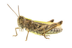 Macro shot of grasshopper Stock Image