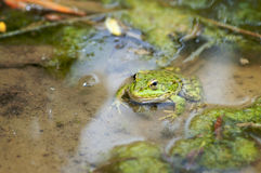 Macro shot of a green frog in the swamp Stock Image