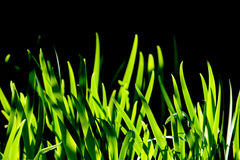 Macro shot of green grass. Isolated on black Stock Images