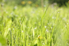 Macro shot of green grass. In the morning with dandelion Royalty Free Stock Image