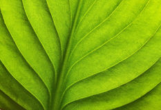 Macro shot of green leaf Stock Photography