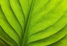 Macro shot of green leaf Stock Photography