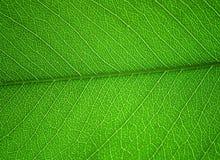 Macro shot of green leaf Stock Photos